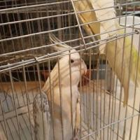 Some Cockatiels up for sale