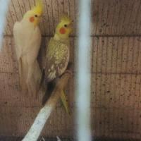 cockatile breeding pair